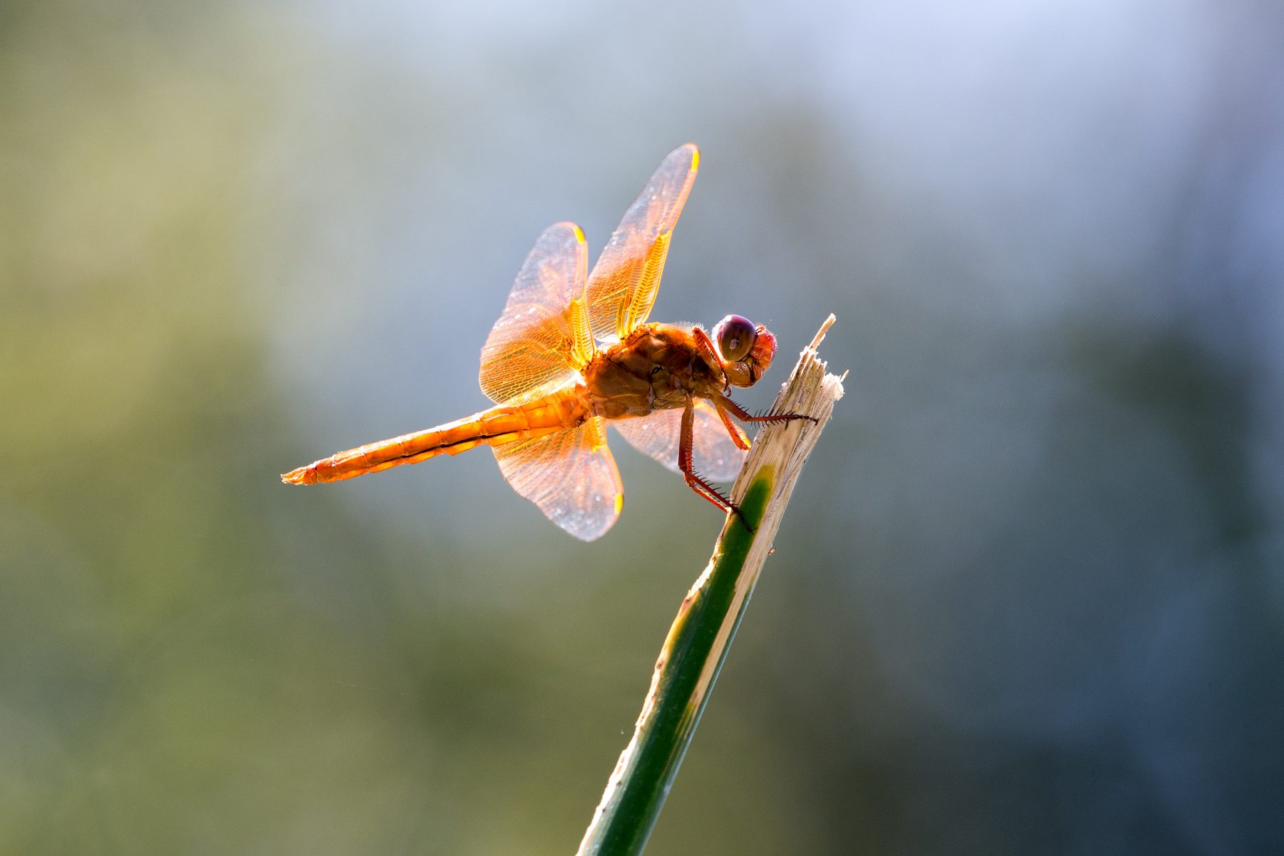 Dragonfly by Tom Applegate