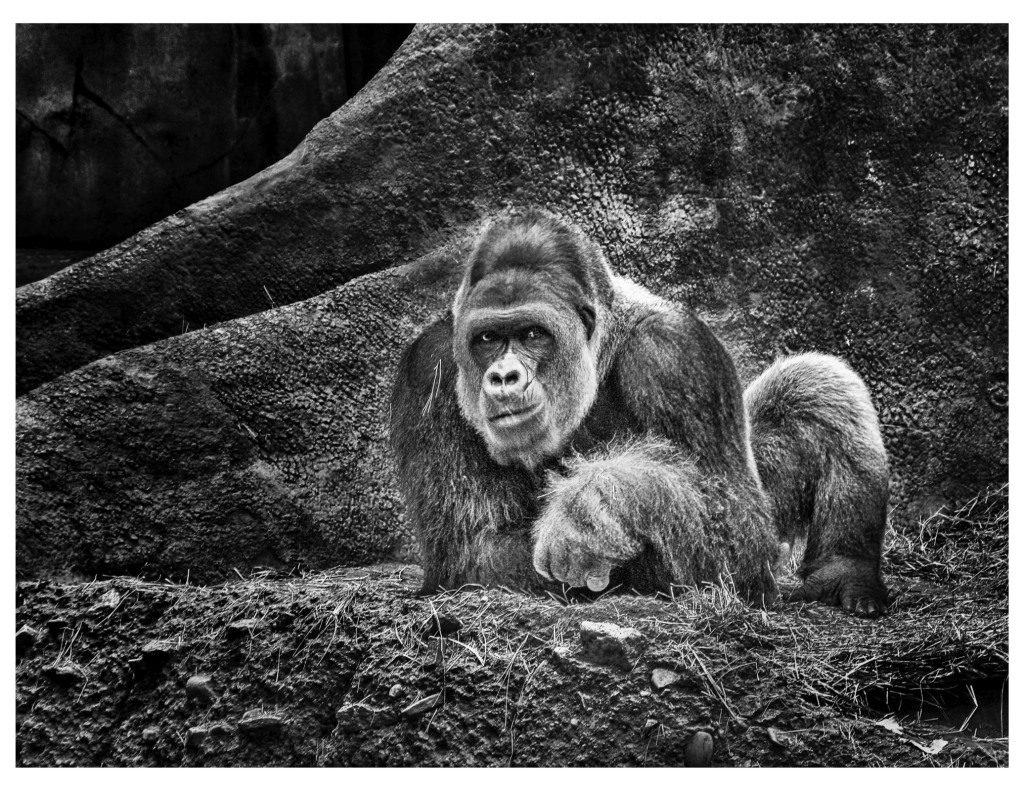 "Honorable mention, Wildlife Captive category: ""Gorilla"" by Dan Fuqua"