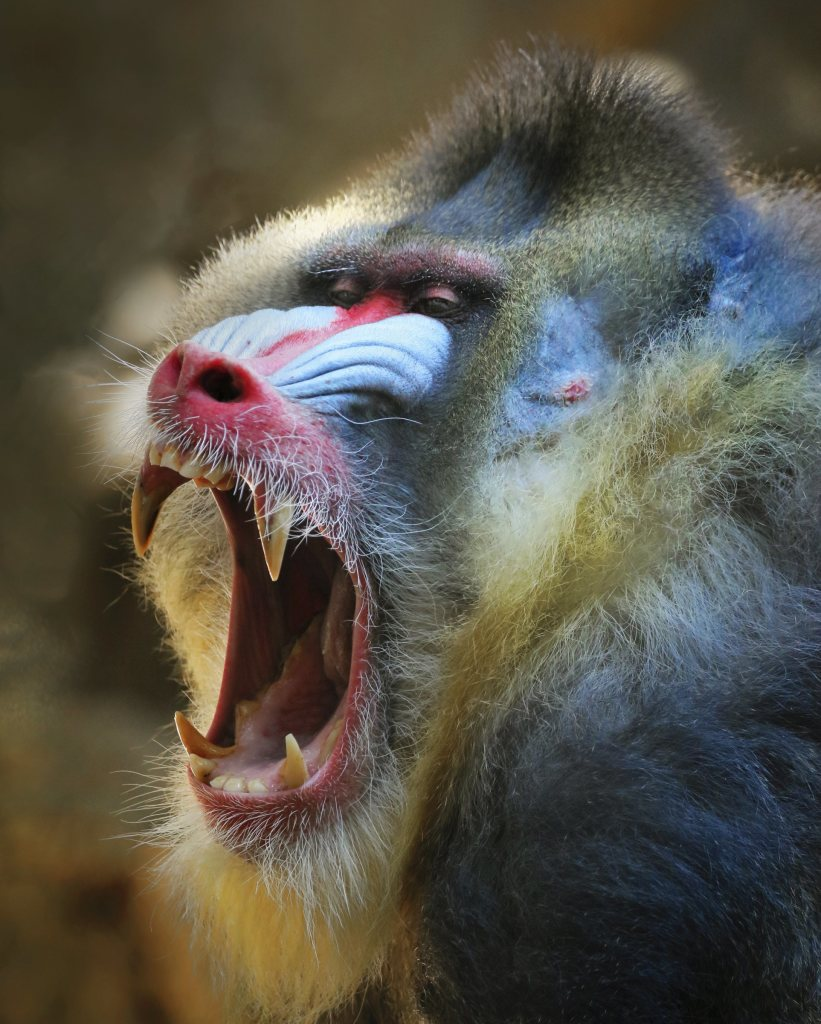 Mandrill photo by Steve Cirone