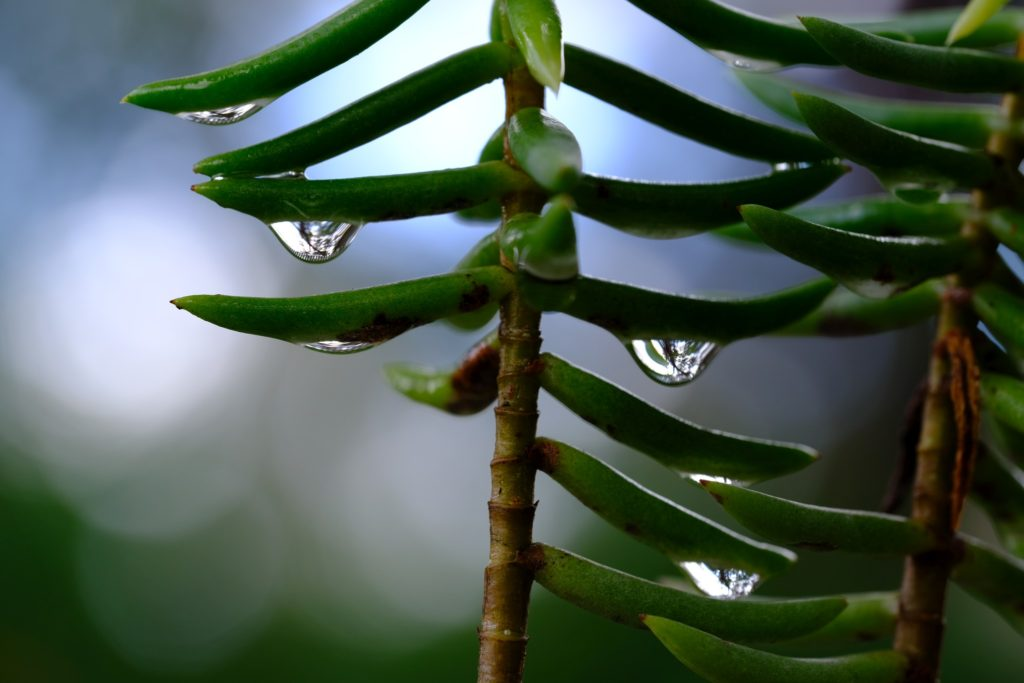 Erica Miller - Raindrops on Succulent