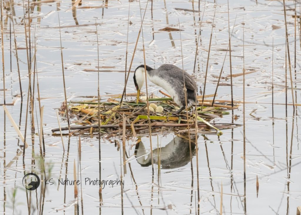 Grebe on nest with eggs, Lake Hodges (c) KS Nature Photography